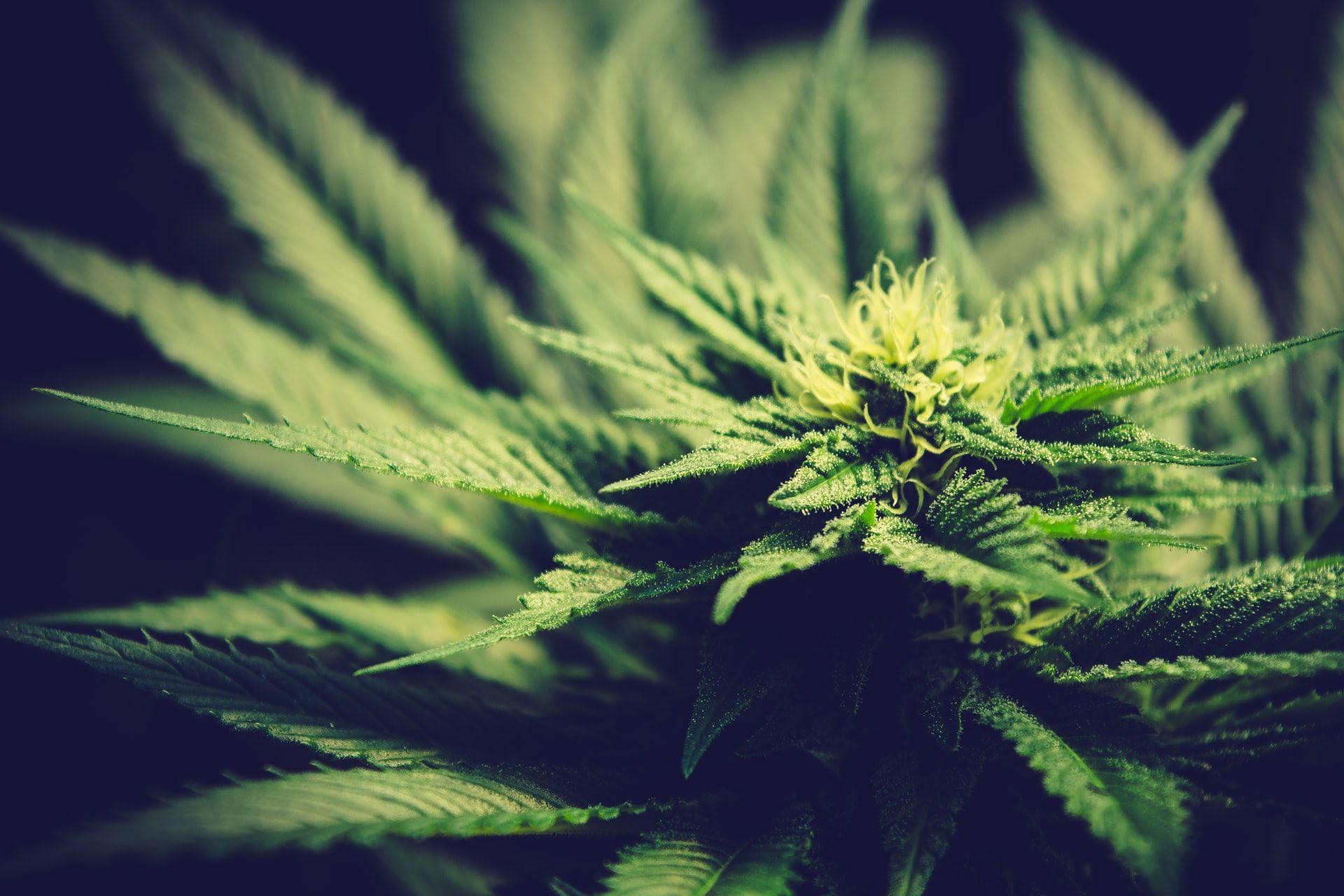 Svolta Onu sulla cannabis, cosa cambia