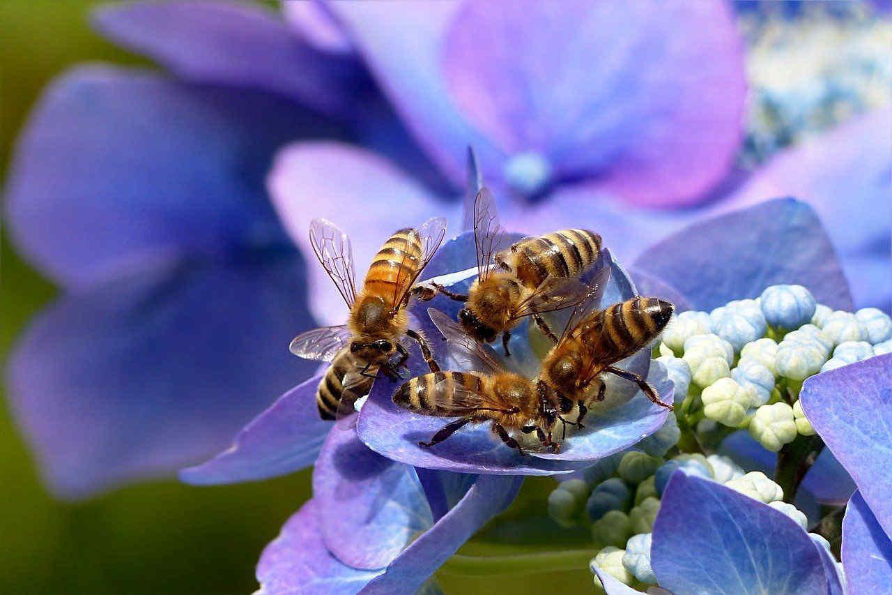 Le api si stanno estinguendo